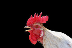 Head singing rooster white on a black Royalty Free Stock Photo