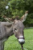 Head of single brown donkey outdoors Stock Photos