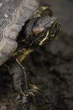 head sköldpadda Royaltyfri Bild