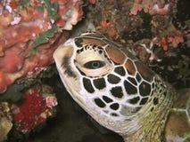 head sköldpadda arkivfoto
