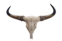 Head skalle av Banteng (Bosjavanicusen) Royaltyfria Bilder