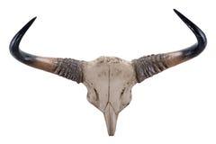 Head skalle av Gaur (Bosgaurusen) Arkivbild