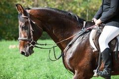 Head skottcloseupen av en dressyrhäst under konkurrenshändelse Färg ryttare arkivfoto