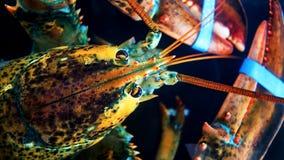 Head skottet av den Panulirus för den taggiga humret ornatusen i akvarier arkivfoto