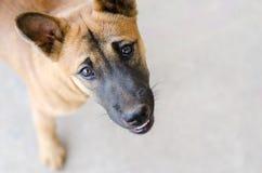 Head skottet av en ung blandad avelhund Royaltyfri Bild