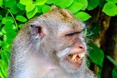 head skottet, Bali, Indonesien, Lång-tailed eller Krabba-äta den vuxna macaquen som visar dess tänder Arkivbilder