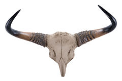Head skull of Gaur(Bos gaurus) Stock Photography