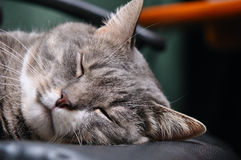 Head of sleeping cat Stock Photo