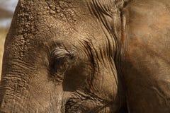 Head slut för elefant upp Royaltyfri Fotografi