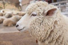 Head slut för får upp djurlantgårdliggande sommar för många sheeeps Royaltyfri Foto