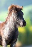 Head slut för ponny upp på sommarbakgrund Fotografering för Bildbyråer