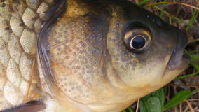 The head is small carp close up. 2 stock footage