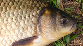 The head is small carp close up. 1 stock footage
