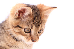 Head of small cat isolated Royalty Free Stock Image