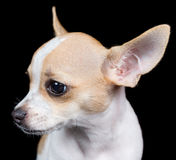 Head of a small chihuahua dog isolated on black Royalty Free Stock Photos
