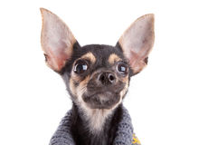 Head Small Dog Toy Terrier In Clothes Royalty Free Stock Image