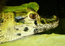 Head of a small green crocodile Stock Image