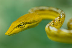 Head of snake Royalty Free Stock Images