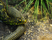 The head of the snake closeup Royalty Free Stock Photo