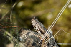 Head of snake viper in brushwood Royalty Free Stock Images