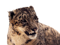 Head of Snow leopard Royalty Free Stock Image