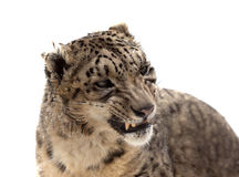 Head of Snow leopard. Isolated over white Stock Photos
