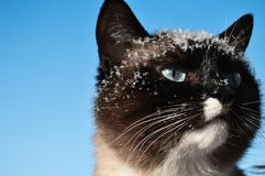 Head Snowshoe siamese cat under snow on blue sky background with copy space. stock photos