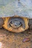 Head of Softshell Turtle Stock Photos