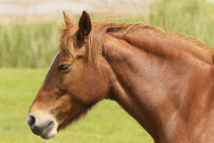 Head of sorrel horse. Portrait of sorrel horse in meadow Royalty Free Stock Photo