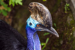 Head of Southern cassowary Stock Images