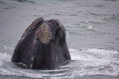 Head of a Southern Right Whale looking with interest, Hermanus, Western Cape. South Africa. stock photography