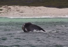 Head of a Southern Right Whale looking with interest, Hermanus, Western Cape. South Africa. stock photos