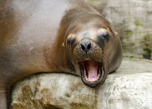 Head of a  southern sea lion Royalty Free Stock Photos