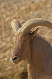 Head sportsliga stora horn på kronhjort för älg. Royaltyfria Foton