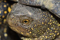 Head spotted freshwater turtle outdoors Stock Photo