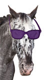 Head of a spotted horse with sunglasses. Stock Photos