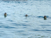 Head of spotted seals Stock Photography