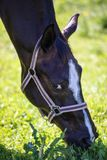 The head of spying brown Hanoverian horse in the bridle or snaffle with the green background of trees and grass in the sunny summe royalty free stock photo
