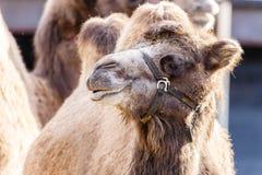 Head stående av en bactrian kamel Arkivbild