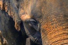 Head st?ende f?r elefant fotografering för bildbyråer