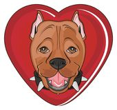 Head of staff peek up from heart. Smiling snout of pitbull stick out from large red heart Royalty Free Stock Images