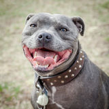 Head of Staffordshire Bull Terrier with Mouth Open. Head of very happy blue or grey Staffordshire Bull Terrier or Staffie in leather studded collar  with mouth Royalty Free Stock Photo