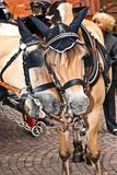 Head of stagecoach horses in detail Royalty Free Stock Photos