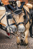 Head of stagecoach horses in detail Royalty Free Stock Images