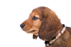 Head of a standard dachshund puppy Stock Photo