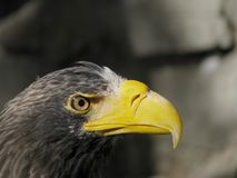 Head of steller's sea eagle Royalty Free Stock Image