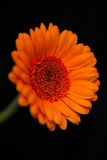Head and stem of blurred orange gerbera Stock Images