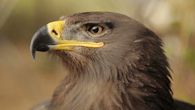 Head Of A Steppe Eagle stock video