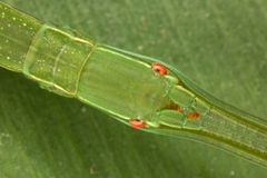 Head stick insects. Close portrait. Fauna of Rain forest of Ecuador (Phasmatodea Stock Images