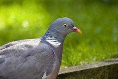 Head of Stock Dove or Wood pigeon. Stock Photos